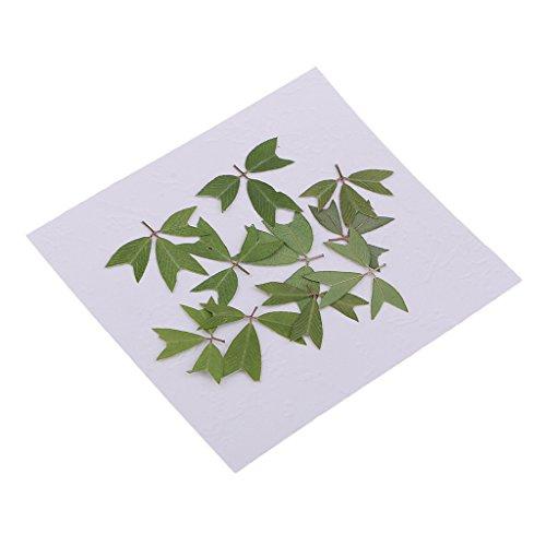 joyMerit 10 Piezas de Flores Prensadas Mixtas Hojas de Kummerowia Striata Secas Naturales para Hacer Tarjetas de Felicitación Y álbumes de Recortes, Relleno de