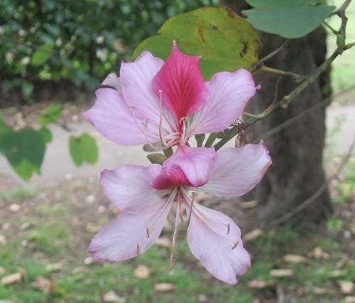 PURPLE ORCHID TREE (Bauhinia variegata) 20 graines