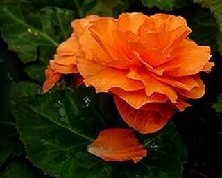 Semillas de flores Begonia 20 PC del bulbo Begonia Tuberosa doble doble anaranjado siembra otoño o primavera de siembra