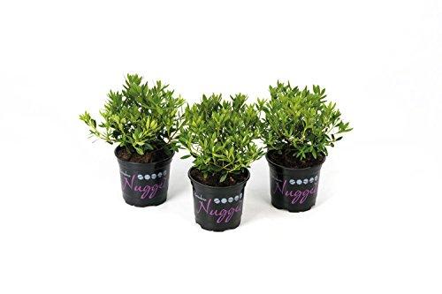 !!WELTNEUHEIT!! Bloombux® – flower & form by INKARHO® 15-20 cm Nugget Trail zu 10 Pflanzen