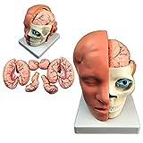 LUCKFY Cabeza Humana con Modelo Cerebral - Modelo del Cerebro Humano - Muestra la Mitad de la Cabeza, anatomía Muscular, Venas, arterias, sinusos Expuestos, Cerebro y anatomía de la arteria
