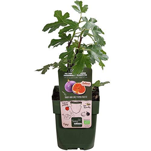 2x Ficus carica Perretta | Figuier | Arbre fruitier | Hauteur 30-60cm | Pot Ø 12cm
