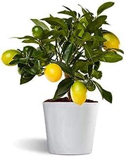 Limequat o limonella lakeland - limonero enano de interior