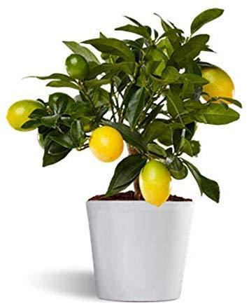 Lakeland o limonella - limonero enano de interior - planta viva - maceta cerámica 12cm