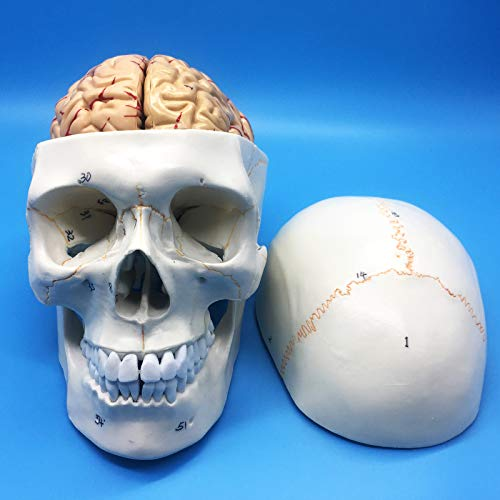 Learning Resources Human Skull and Brain Anatomical Model, Anatomically Accurate Human Skull and Brain Life Size Anatomy Model for Science Classroom Study Display Teaching Model
