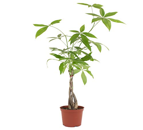 Shop Succulents | Standing Collection | Hand Selected, Air Purifying Live Pachira Aquatica Money Tree Indoor House Plant in 6' Grow Pot, 6 INCH,
