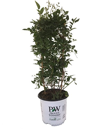 Premier Plant Solutions 19814 Sweet Summer Love Live Vine, 1 Gallon, Green and Purple