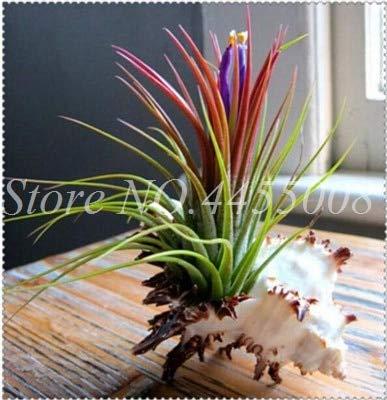 Bloom Green Co. Rara Púrpura Bromelia Tillandsia Bulbosa Planta de aire Muy fácil de cultivar Planta perezosa Bonsai Semilla Para el jardín en casa 100 piezas: 4