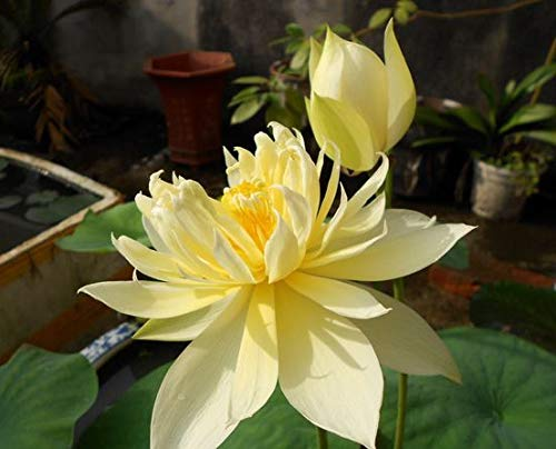 HONIC Wasserpflanzen Blumenschale Wasser-Lilien 5 Partikel/Bag Hausgarten: Sky Blue