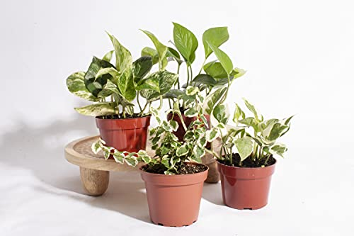 """Shop Succulents   Pothos Collection   Variety Assortment Unique Cascading, Hand Selected Fully Rooted Live Indoor Pothos House Plants in a 4"""" Grow Pot, 4-Inch"""