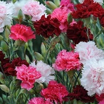Dianthus Sonata Mix Blumensamen...