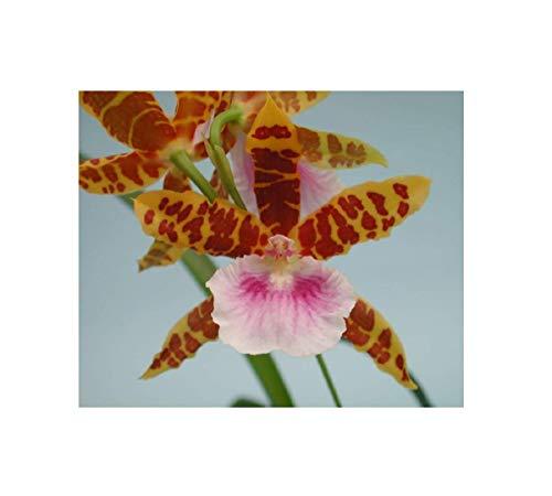 Stk - 1x Miltonia Goodale Moir Golden Wonder Meristem Sorte Orchidee OW130 - Seeds Plants Shop Samenbank Pfullingen Patrik Ipsa
