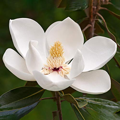 Magnolia Fairy White Hardy Bushy Evergreen Outdoor Potted Flowering Garden Shrub (20-30cm (Incl. Pot))