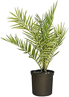 Best sylvester palm tree zone Reviews