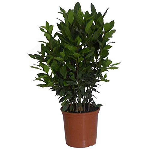 Planta Laurel