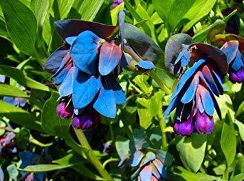 VISTARIC Heirloom 60 graines 6 Couleurs Rouge Violet Rose Bleu Blanc Jaune Vivaces Rose Double Fleurs Graines B3006