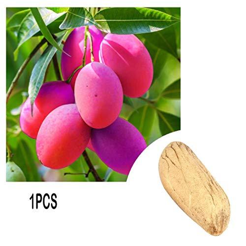 AIMADO Samen-Rarität 20 Stück Mango Samen F8 exotische köstliche Frucht Bunt Bio Obst Saatgut,Mangokern für Bonsai Topf und Garten