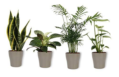 Set von 4 Zimmerpflanzen | im silberfarbenen Blumentopff | Höhe 25-30cm | Sansevieria Philodendron Monstera Chamaedorea | Topf 12cm