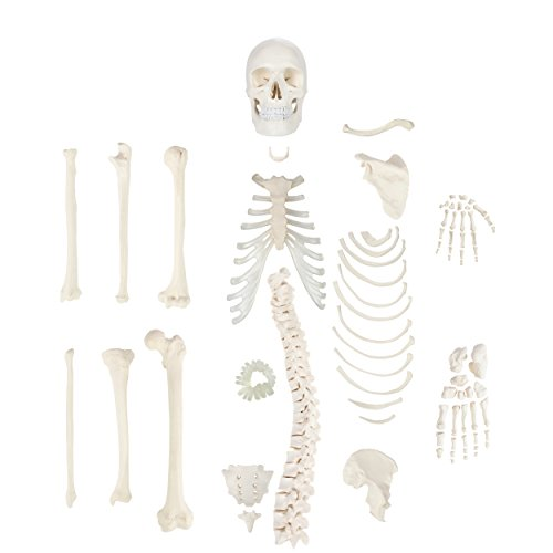 Axis Scientific Half Disarticulated Human Skeleton with 3-Part Human Skull, Hand, Foot, Anatomical...