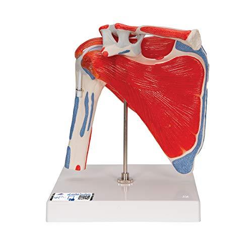 3B Scientific Menschliche Anatomie - Schultergelenkmodell mit Rotatorenmanschette (4 abnehmbare Muskeln), 5 - teilig + kostenloser Anatomiesoftware - 3B Smart Anatomy