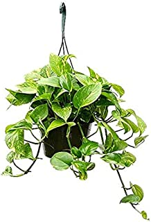 Live money plant with hanging pot