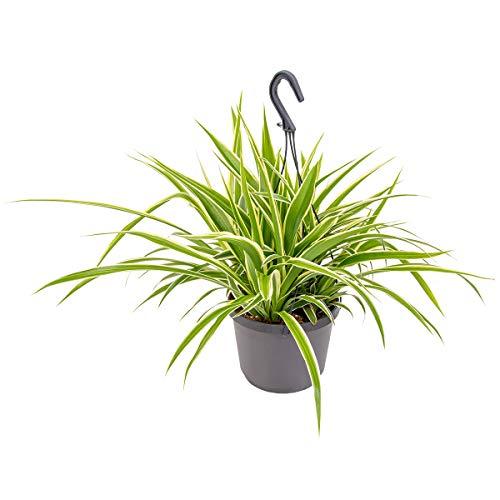 Graslilie im Hängetopf pro Stück | Chlorophytum 'Variegatum' - Zimmerpflanze ⌀18 cm - 40-45 cm