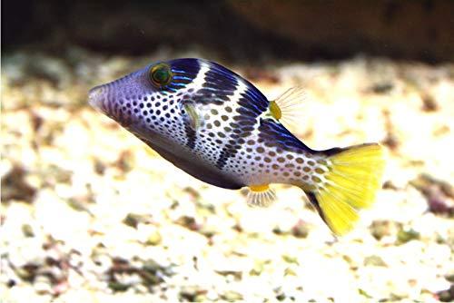 【海水魚・観賞魚・フグ】 シマキンチャクフグ ■サイズ:4cm± (3匹)