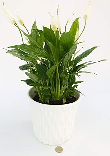SPATIFILLO MULTIFLORA IN VASO IN CERAMICA BIANCO, vaso 18cm Pianta Vera