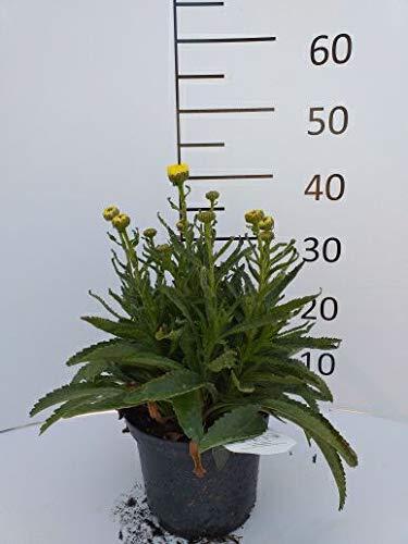 Späth Staude im Topf Großblumige Margerite 'Goldfinch' gelb blühend, Blütenstauden mehrjährig 1 Pflanze
