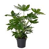 Zimmeraralie ca. 30 cm Fatsia japonica Zimmerpflanze