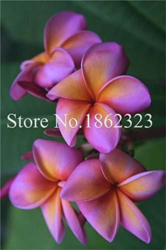 Kalash Nouvelle Fleur de Frangipanier SEED pour jardinage Violet d'orange