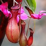 Granos de pulgas50Pcs/Sac Nepenthes Semillas Tropicales decorativas con Semillas de Plantas Carnívoras bolsa para El Hogar - Semillas de Nepenthes Rojos