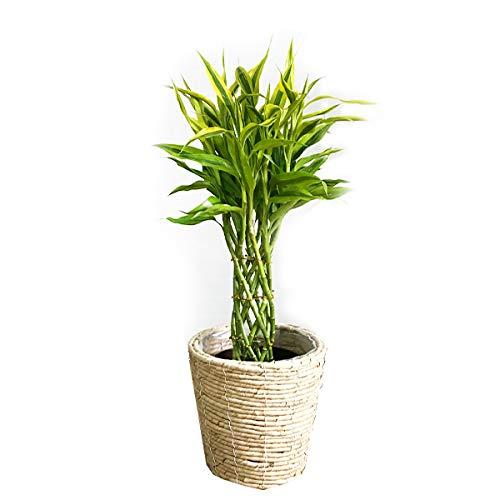 ミリオンバンブー ナチュラル鉢カバー付 観葉植物 本物 インテリア 中型 ミニ ラッキーバンブー 幸運の竹