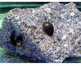 石巻貝SMサイズ 10個(こだわりの生体をお届けします 名生園)