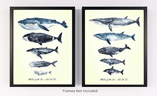 Whales of the Sea Set No.21 Wall Art Prints - Set of 2-11x14 UNFRAMED Watercolor Prints of Humpback, Beluga, Killer, Blue, Bowhead White, Sperm & Gray Whales.