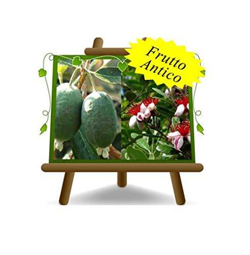 Feijoa Triumph – Pianta da frutto antico su vaso da 26 - albvero max 170 cm - 4 anni