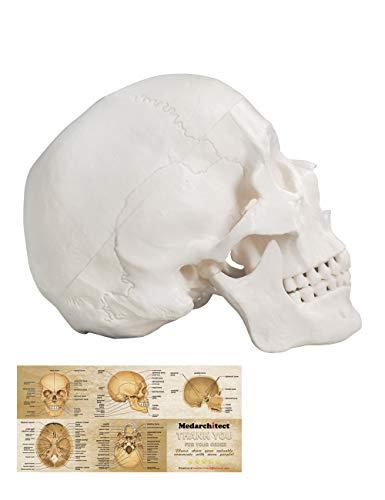 Menschliches Schädel-Modell, Lebensgröße, 3-teiliges anatomisches Modell mit abnehmbarer Totenkopfkappe und beweglichem Mandible für Medizinstudenten, menschliche Anatomie Studie Kurs