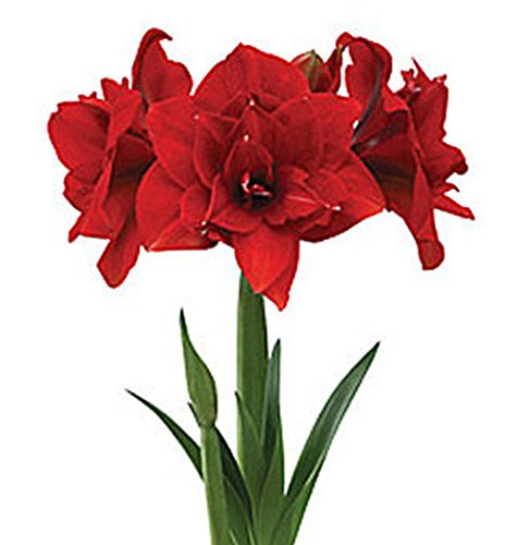 Double Dragon Amaryllis - Bare Root Bulbs - up to 3 Stalks