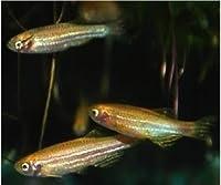 【熱帯魚・コイの仲間】 ゴールデン・ゼブラダニオ ■サイズ:2.3cm± (10匹)