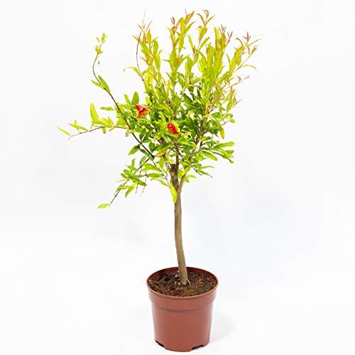 GRANADO miniatura tipo bonsai - PLANTA VIVA en maceta de 14 cm