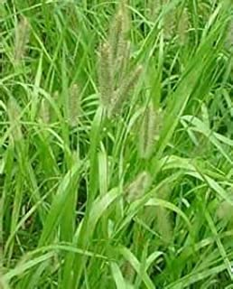 Creeping Foxtail Grass Seed (Garrison, Coated) - 10 Pound - Wizard Seed LLC