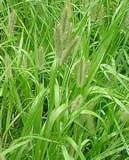creeping foxtail grass
