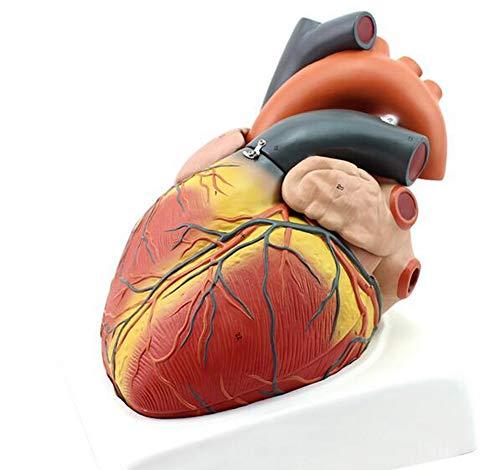 JL 4-Teilig Abnehmbar Menschliches Herzmodell Herzverstärkung Anatomisch Zeigt Interne Strukturen An für Science Classroom Study Display Medizinisches Modell Lehren