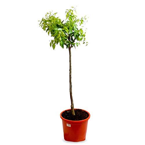 Mandarino - Maceta 25cm. - Altura total aprox. 1