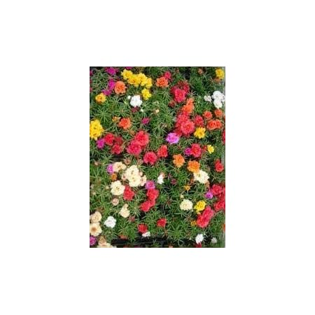 200 Seeds akelei Colourful Mix Winter Hard Perennial
