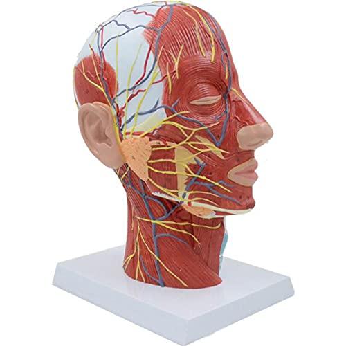 WJR Modelo de cabeça humana tamanho real, modelo de anatomia do pescoço de cabeça humana com vasos sanguíneos musculares e nervosos, modelo neurovascular superficial de meia cabeça direita