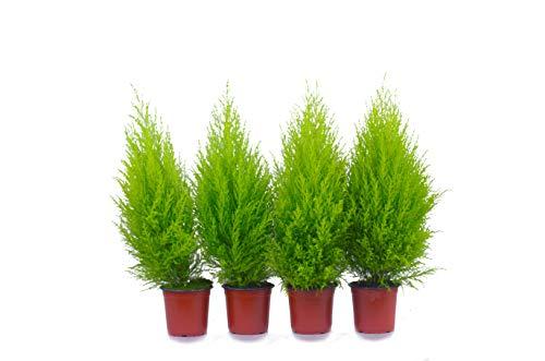 Top Zypressen 4 Stück in 70cm A1 Qualität MPS kontrolliert Unsere Pflanzen sind bereits für Sie vorgedüngt