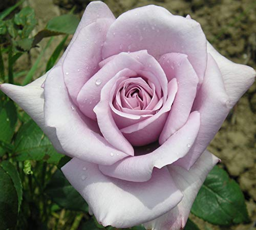 Twice in A Blue Moon - 5.5lt Potted Hybrid Tea Garden Rose Bush - Unusual Lilac Purple Blooms - Strong Fragrance