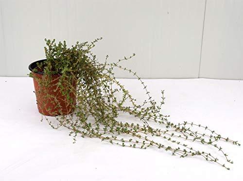 Pianta Drosanthemum Vaso 18cm