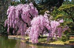 10pcs / sac japonais graines d'arbres sakura bonsaïs, arbres de cerisier pleureur, bricolage jardin graines nain sakura belles graines de fleurs 4